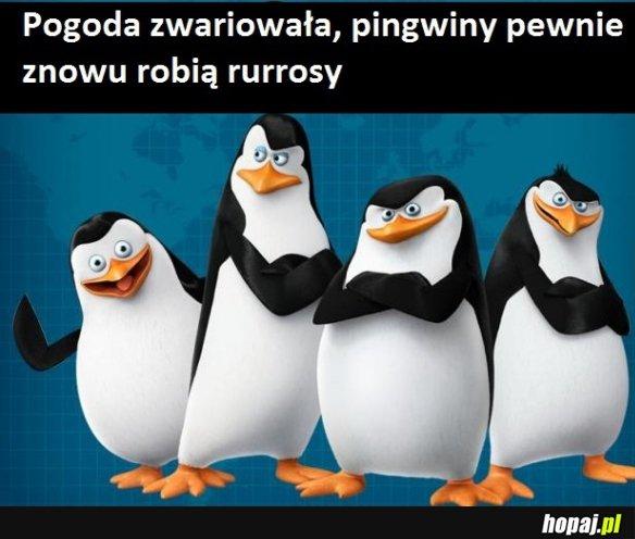 To wszystko wina pingwinów