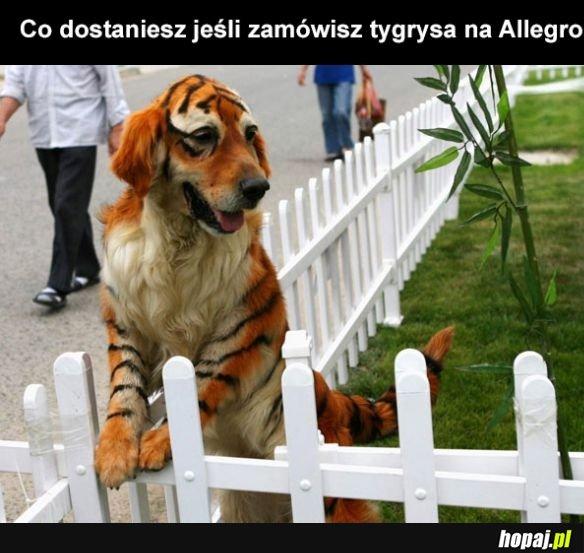 Tygrys na allegro?