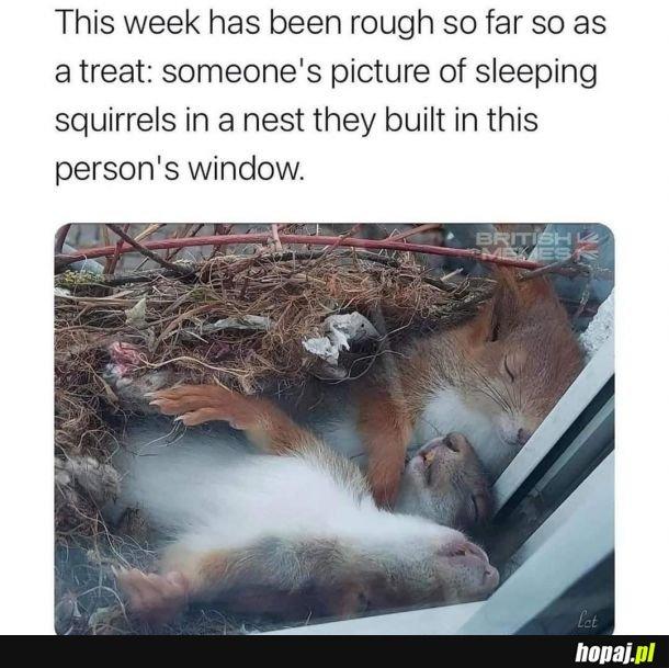 Spiące wiewiórki, które zbudowały gniazdo na oknie