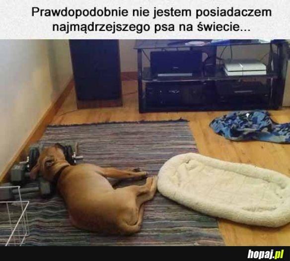 Pies woli hantle