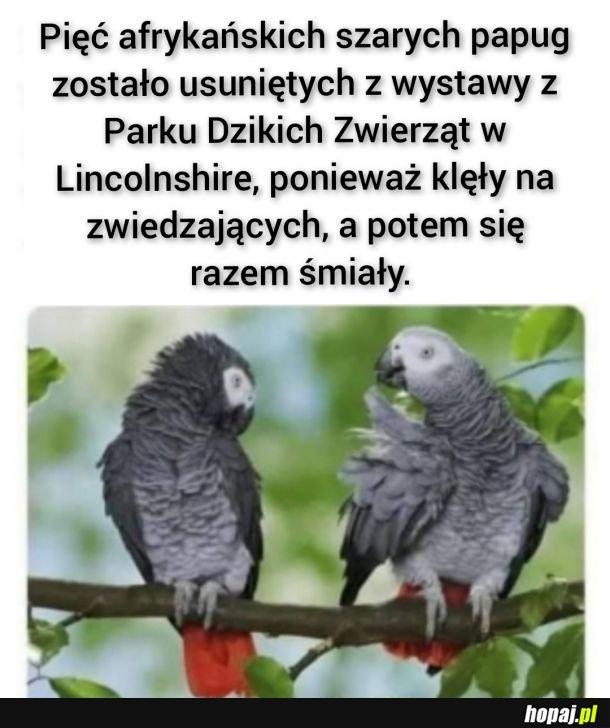 Afrykańskie papugi