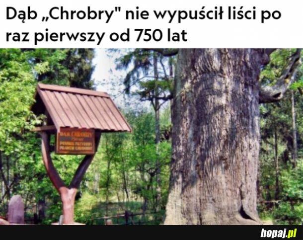 """Dąb """"Chrobry"""""""