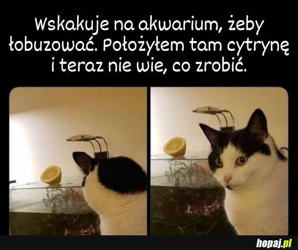 Cytryna to nie ogórek, na szczęście