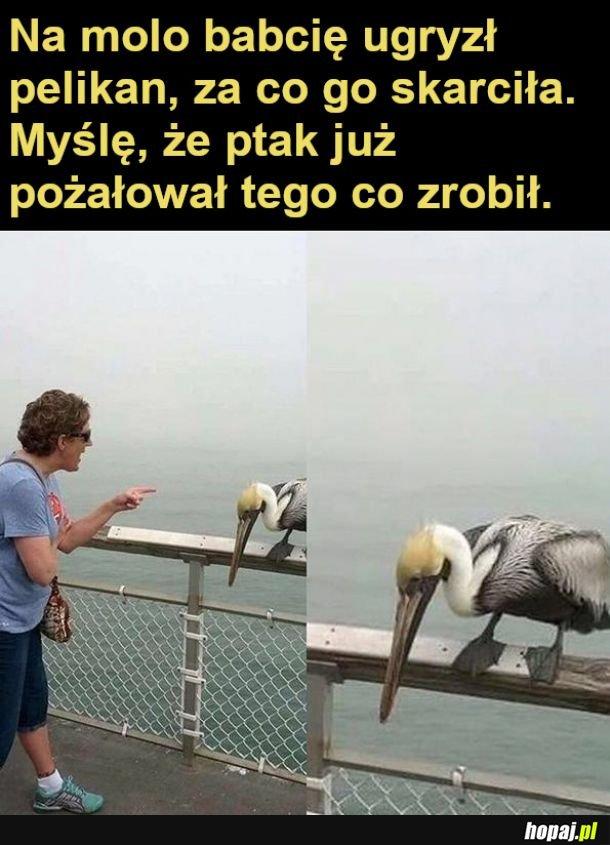 Skarcony pelikan