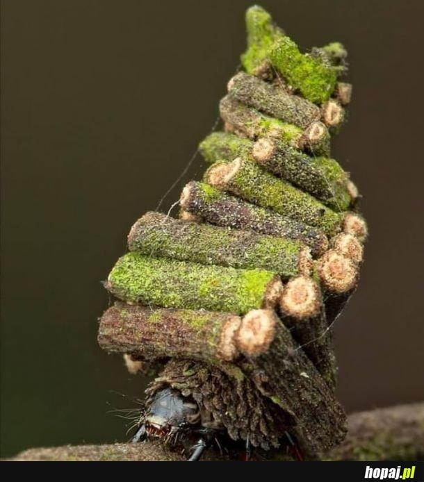 """To gąsienica ćmy Bagworm. Zbiera liście, małe gałązki i ziemię, aby zbudować """"chatę z bali"""". W którym spędzi resztę życia."""