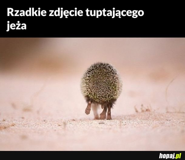 Tuptuś jeżyk