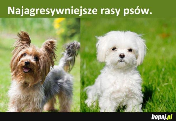Najagresywniejsze rasy psów: