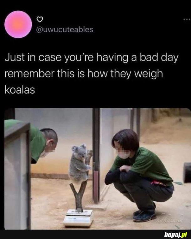Jak zważyc koale