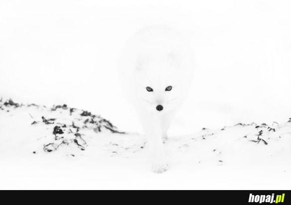 Biały lis