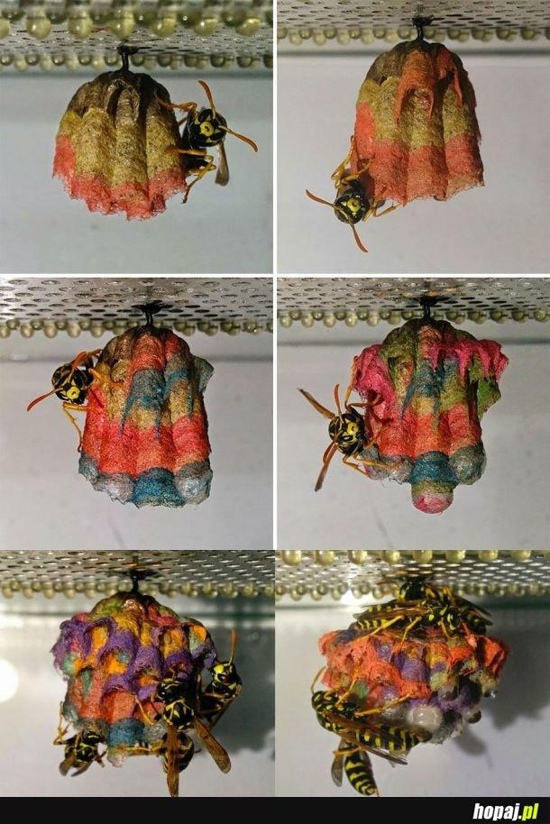 Gdy dasz osom kolorowy papier, zbudują gejowe gniazda
