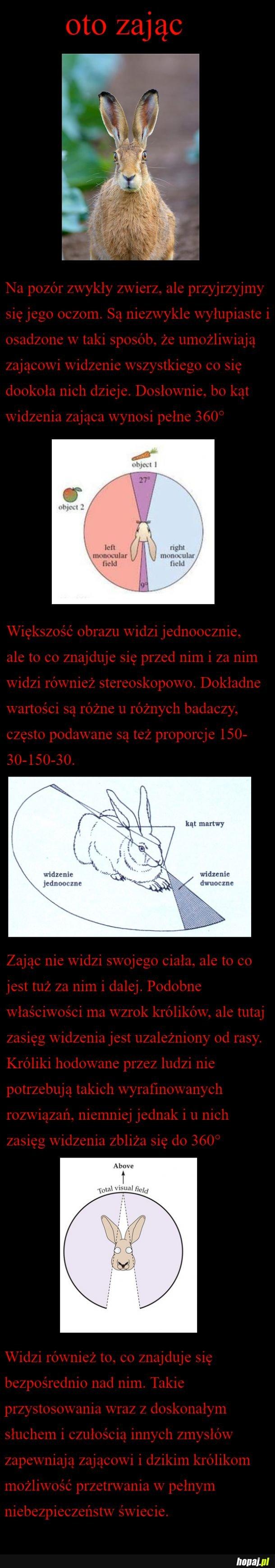 Zajączek