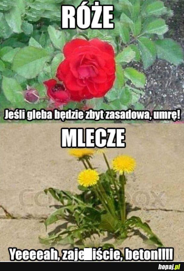 Róże vs mlecze
